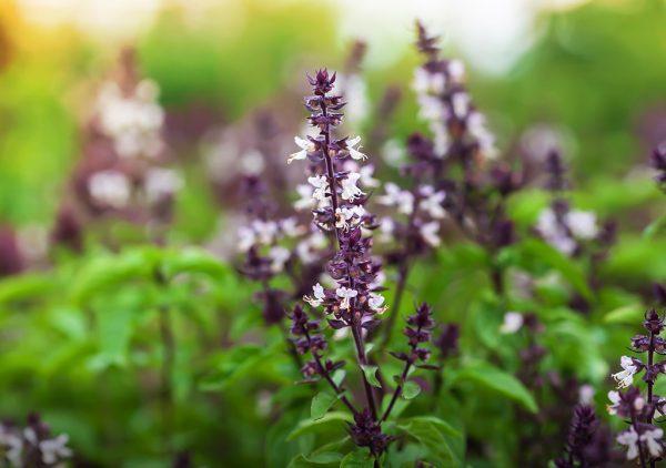Holy Basil Plant Harmony is Life